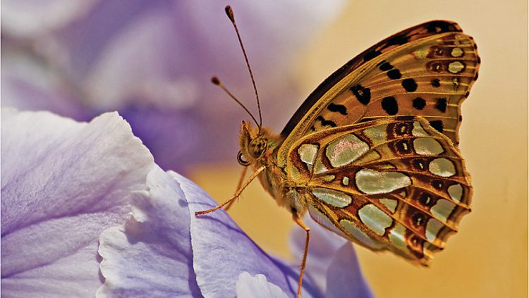 ANATOLIAN BUTTERFLIES ARE TAKING COLLECTORS' BREATH AWAY