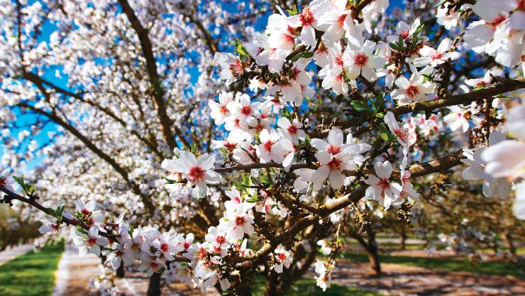 SPRING IN DATÇA COMES WITH ALMOND FLOWERS