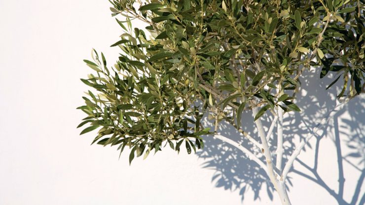 THE OLDEST FRIEND OF THE HUMAN KIND FOR 39 THOUSAND YEARS: THE OLIVE TREE