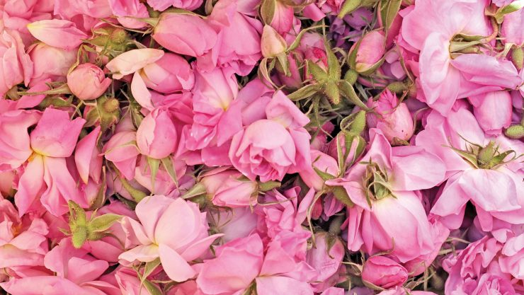 HARVESTING ROSES IN MAY: ISPARTA