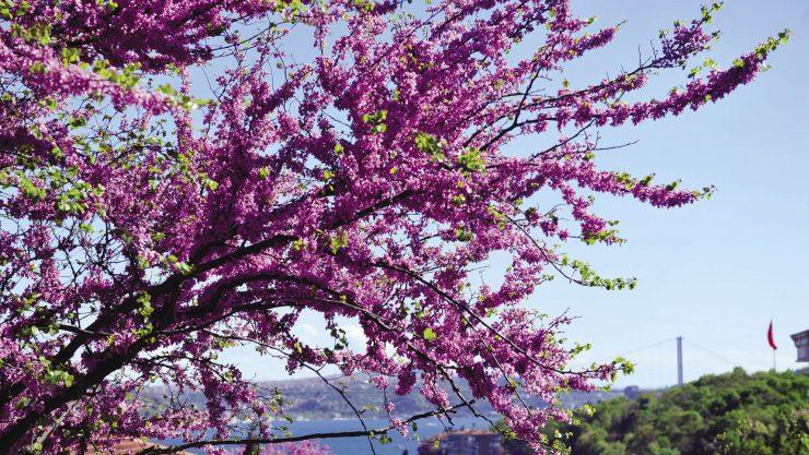 Kısa Bir Ömürün En Güzel Rengi: Erguvan