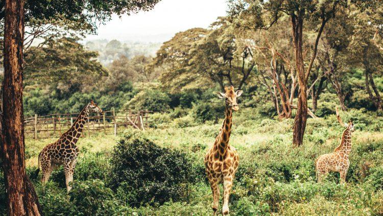 Kozmopolit ve Geleneksel Bir Afrika Sentezi: Nairobi